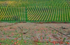 pumpkin frosty grapes Rheintal 2019 (matthias416) Tags: germany deutschland rheintal herbst fall autumn kürbiss pumpkin reben grapes nikon baum tree