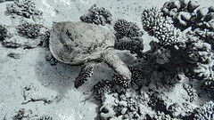 deep sea without colors (werner boehm *) Tags: wernerboehm turtle redsea egypt hurghada padiscuba diving