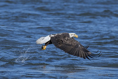 Bald eagle (Michelle w.h. Xu) Tags: conowingo dam eagles 2019 water blue wildlife animal fish bald bird birds black white out spash