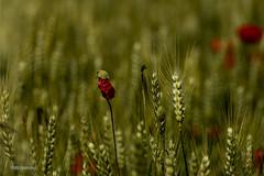 Coquelicot (vyclem78) Tags: fleur champs printemps coquelicot végétal macro macrophotographie proxi yvetteclemenson