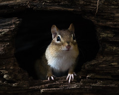 Hesitant Hole (jakegurnsey) Tags: chipmunk wildlife small sony canada a6300 ontario rodent animal eastern mammal portrait critter gm 100400mm f4556 ngc