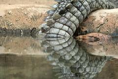 Reflections (K.Verhulst) Tags: reflectie reflections nilecrocodile nijlkrokodil tale staart blijdorp blijdorpzoo diergaardeblijdorp rotterdam