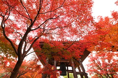 The old temple (Teruhide Tomori) Tags: 智積院 京都 寺院 日本 東山 紅葉 tradition architecture momiji 樹 tree autumn red maple kayede kyoto japan japon 秋 モミジ temple chishakuintemple 鐘楼