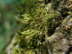 Cryphaea heteromalla (EmilieAncolie) Tags: bryophytes moss mousses mosses flora flore nature musgos