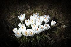 Crocus IMG_1763 (Paul_Paradis) Tags: blossom fleur flora floral flower jardin garden plant plante nature natural printemps spring crocus brillant macro canada quebec iledorleans