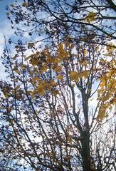 Träufle in zerrissne Herzen (amras_de) Tags: baum træ stablo boom árbol drvo arbre strom tree arbo puu zuhaitz crann fa arbore tré albero arbor medis koks tre drzewo árvore àrvulu drevo träd agaç herbst agüerro jesen tardor podzim efterår autumn autuno otoño sügis udazken syksy automne fómhar osz haust autunno autumnus hierscht ruduo rudens herfst høst jesien outono toamna autunnu hairst höst sonbahar