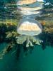 Jelly Fish-6