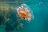 Jelly Fish-2