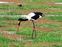 2019-101339 (bubbahop) Tags: 2019 africatrip gadventures tanzania lakemanyara national park safari part2 animal saddlebilled stork bird