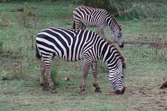 2019-101338 (bubbahop) Tags: 2019 africatrip gadventures tanzania lakemanyara national park safari part2 animal zebra