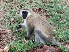 2019-101335 (bubbahop) Tags: 2019 africatrip gadventures tanzania lakemanyara national park safari part2 animal monkey