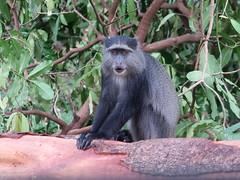 2019-101333 (bubbahop) Tags: 2019 africatrip gadventures tanzania lakemanyara national park safari part2 animal bluemonkey