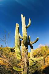 Old Giants (Thomas Hawk) Tags: america arizona bartlettlake cavecreek saguaro tontonationalforest usa unitedstates unitedstatesofamerica yellowcliffs cacti cactus desert rioverde fav10