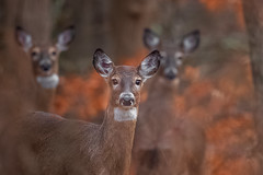 White-tailed Deer (wn_j) Tags: wildlife wildanimals wildlifephotography deer canon canon1dxii canon500mm whitetaileddeer heublein nature naturephotography talcottmountain metacomettrail
