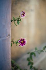 We're still here (Inka56) Tags: chrysanthemum flowers fence bokeh bokehpainting shallowdof wall branch