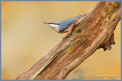 Nuthatch Pose (www.andystuthridgenatureimages.co.uk) Tags: nuthatch headup pose wood woodland branch tree forest devon uk perch posing bird autumn canon wildlife photography