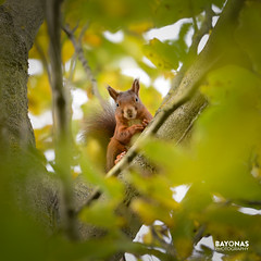 Trees are Home (Jorge Pino Garcia de las Bayonas) Tags: animals life cute squirrel trees woods forest nature lovely adorable wildlife habitat leaves view home manualfocus nikon nikoneurope nikondeutschland fx autumn season portrait moment face nikkor conservation