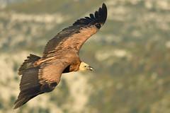 vautour fauve (frederic.laroche6) Tags: vautour fauve oiseau bird animalier verdon provence nikon d500