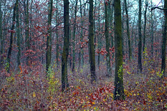 Red forest (Dumby) Tags: landscape ilfov românia forest autumn fall foliage leafs nature colors outdoor