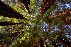 In the Redwoods (lfeng1014) Tags: bigbasinredwoodsstatepark intheredwoods redwoods trees lookingup perspective gianttrees canon5dmarkiii ef2470mmf28liiusm canopy santacruz california usa travel lifeng