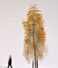 Reflections (Edinburgh Photography) Tags: nature outdoors man walking tree reflections water inverleith pond edinburgh nikon d7000 minimilism