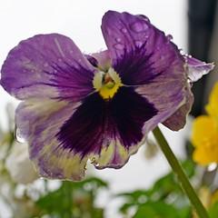 in the hanging basket (quietpurplehaze07) Tags: pansy purple hangingbasket garden walk macro thoughts