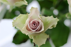 Rose (JaaniicB) Tags: canon eos 1200d nifty fifty rose color green spring 2019 f18 stm depth field dof