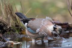 27 11 2019 (cathyk31) Tags: geaideschênes oiseau corvidés eurasianjay garrulusglandarius passériformes bird