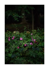This work is 8/12 works taken on 2019/10/20 (shin ikegami) Tags: sony ilce7m2 a7ii sonycamera 50mm lomography lomoartlens newjupiter3 tokyo 単焦点 iso800 ndfilter light shadow 自然 nature naturephotography 玉ボケ bokeh depthoffield art artphotography japan earth asia portrait portraitphotography