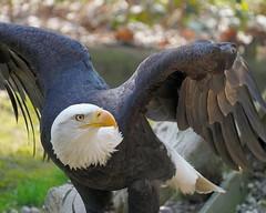 American Bald Eagle (hansjoergBo) Tags: baldeagle haliaeetus leucocephalus climate change climatepolicy