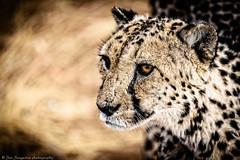 cheetah (Jan Jungerius) Tags: africa afrika namibia namibië cheetah gepard dier tier animal wildlife nikond750 afsnikkor70200mmf4