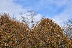 Autumn - Overgrown Entanglement (Modkuse) Tags: autumn autumnleaves autumncolor autumncolors fall fallcolors fallcolor bramble nature natural natureart photoart art artphotography artistic artisticphotography fineartphotography fineart fujifilm fujinon fujifilmxh1 xh1 xf1655mmf28rlmwr captureone fujinonxf1655mmf28rlmwr