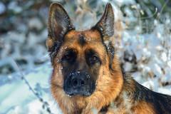 Zeke Looking in Window (Karen McQuilkin) Tags: zekelookinginwindow zeke dog germanshepherd winter cold yard outside comeoutandplay november