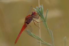 Libellule (jpto_55) Tags: libellule insecte odonate rouge proxi bokeh xt20 fujiflim fujixf55200mmf3548rlmois fuji hautegaronne france