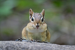 A Smile To Brighten Your Day! (DaPuglet) Tags: chipmunk chipmunks animal animals nature wildlife cute cheeks thanksgiving seeds closeup funny lol ottawa ontario portrait furry wild rodent mammal mammals rodentia sciuridae tamias specanimal coth5
