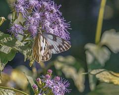 Checkered White Butterfly and Flowers (Stephen G Nelson) Tags: insect butterfly checkeredwhite botanicalgarden flower bluemistflower tucson arizona