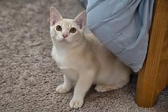 Usher, AKA Bob (jim.kinkennon) Tags: cat burmese european cream kitten