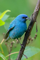 Indigo Bunting (Gf220warbler) Tags: missouri bunting passerina passerine songbird