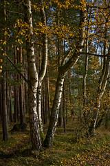 Trio of Birches (pstenzel71) Tags: deutschland rudolstadt landschaft wald forest thüringen woods thuringia birch birke darktable sel55f18z ilce7rm3 autumn fall herbst