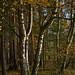 Trio of Birches
