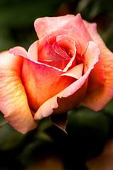 A Single Rose 3-0 F LR 10-12-19 J267 (sunspotimages) Tags: flower flowers rose roses nature macro macroflower macroflowers macrorose macroroses closeup closeupflower closeupflowers closeuprose closeuproses