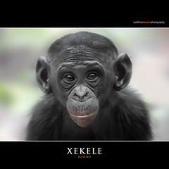 XEKELE (Matthias Besant) Tags: affe affen affenfell animal animals ape apes pygmychimpanzee fell zwergschimpanse hominidae hominoidea mammal mammals menschenaffen menschenartig menschenartige monkey monkeys primat primaten saeugetier saeugetiere tier tiere trockennasenaffe bonobo schauen blick blicken augen eyes look looking jungtier baby xekele bonobobaby child kind zoo zoofrankfurt matthiasbesant hessen deutschland