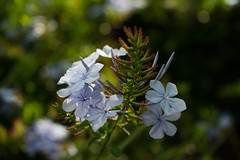 Plumbago Cape Leadwort (2019-11-27) (R✿an ℉✿urie) Tags: 2019 d3400 dx nikon november randfontein flora flower nature kitlens flickrlounge weeklytheme beginswithf