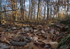 Eastern Massasauga Rattlesnake (Nick Scobel) Tags: eastern massasauga rattlesnake sistrurus catenatus rattle rattler snake venomous coiled scales fall scenic wide angle habitat endangered species hidden camouflage