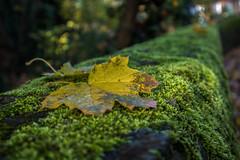 Autumn fall (fotosforfun2) Tags: autumn seasons nature leaf fall moss green yellow focus macro bokeh