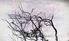 Gnarly (paulgarf53) Tags: tree blackandwhite bw gnarly windblown nature lakewoodruffnwr florida nikon d700 topaz topazstudio2