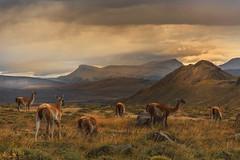 GUANACOS / P.N. TORRES DEL PAINE (Joan González_Miratges) Tags: patagonia guanaco chile