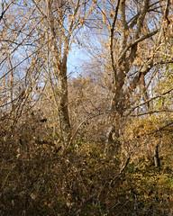 Two Trees - Late Autumn (Modkuse) Tags: trees landscape nature natural natureart art artphotography artistic artisticphotography photoart nopostprocessing straightoutofcamera sooc astia astiasimulation fujifilmastiasimulation fujifilmxh1astiasimulation fujifilm fujinon fujifilmxh1 xh1 fujinonxf1655mmf28rlmwr xf1655mmf28rlmwr forest woods outdoors