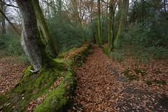 Woodland Walks Hants (Adam Swaine) Tags: autumn autumncolours autumnviews woodland woodlandfloor woods trees england english britain british naturelovers nature nationaltrust uk ukcounties leaves canon adamswaine 2019 walk moss lichen seasons woodlandtrust