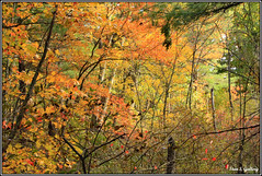 Autumn Foliage 2019 - 50 (Stan S. Gallery) Tags: autumn autumnal fall fallcolors foliage forest woods colors colours outdoors trees leaves treeleaves branches vines october nature canonrebel seasonal seasons landscape birchtrees thicket